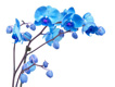 Blue flowers on orchid